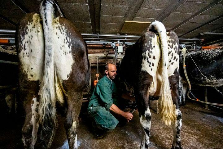 """""""Le confiné"""" est fait à partir du lait de vaches de la race vosgienne, à la robe noire et blanche, et à la tête tachetée."""
