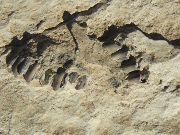 L'un des fossiles d'animaux