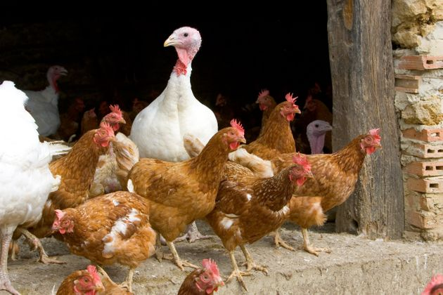 Un premier cas de grippe aviaire en France (Photo