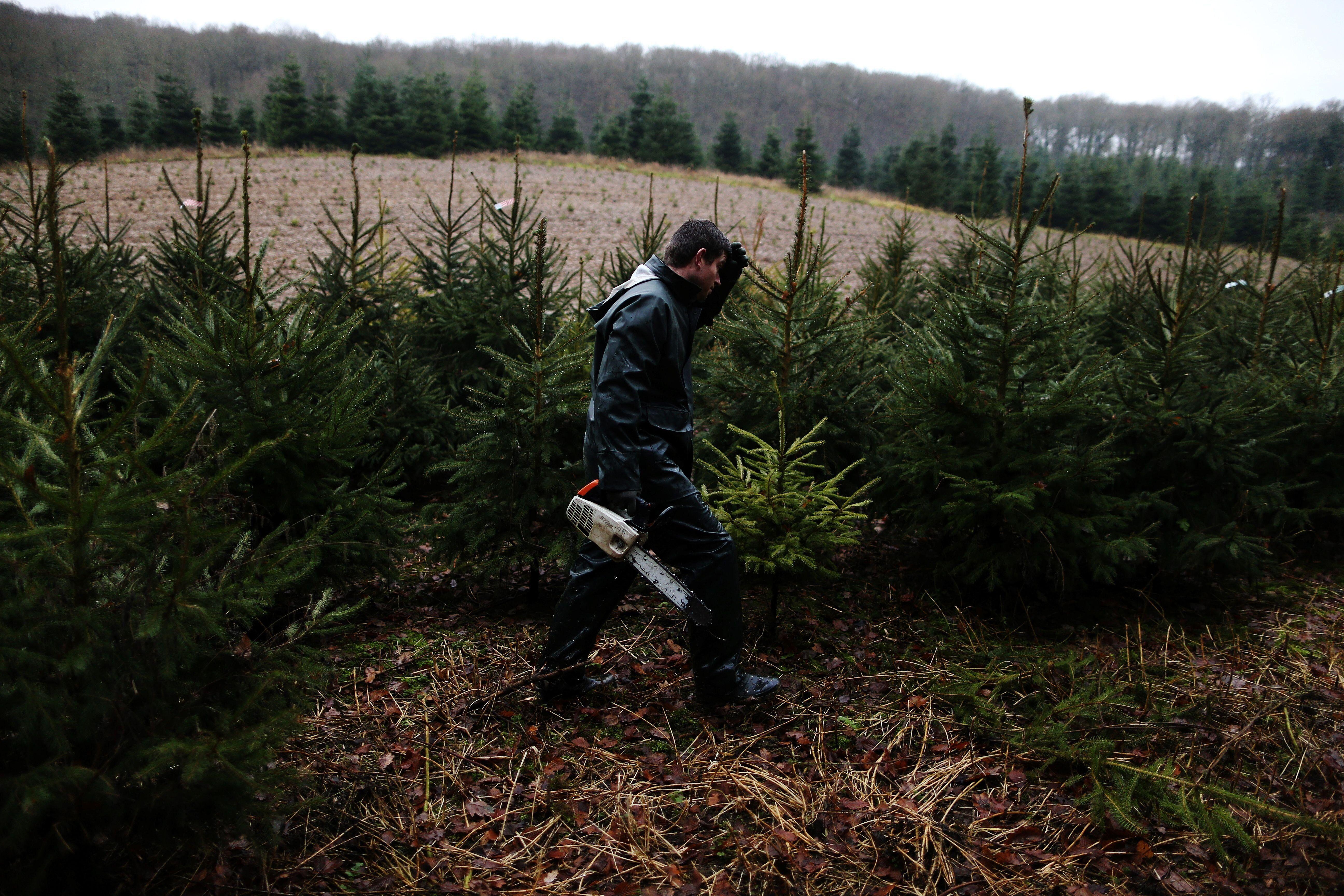 Un homme coupe un sapin dans un champ à Sacquenville, dans le nord-ouest de la France le 6 décembr...