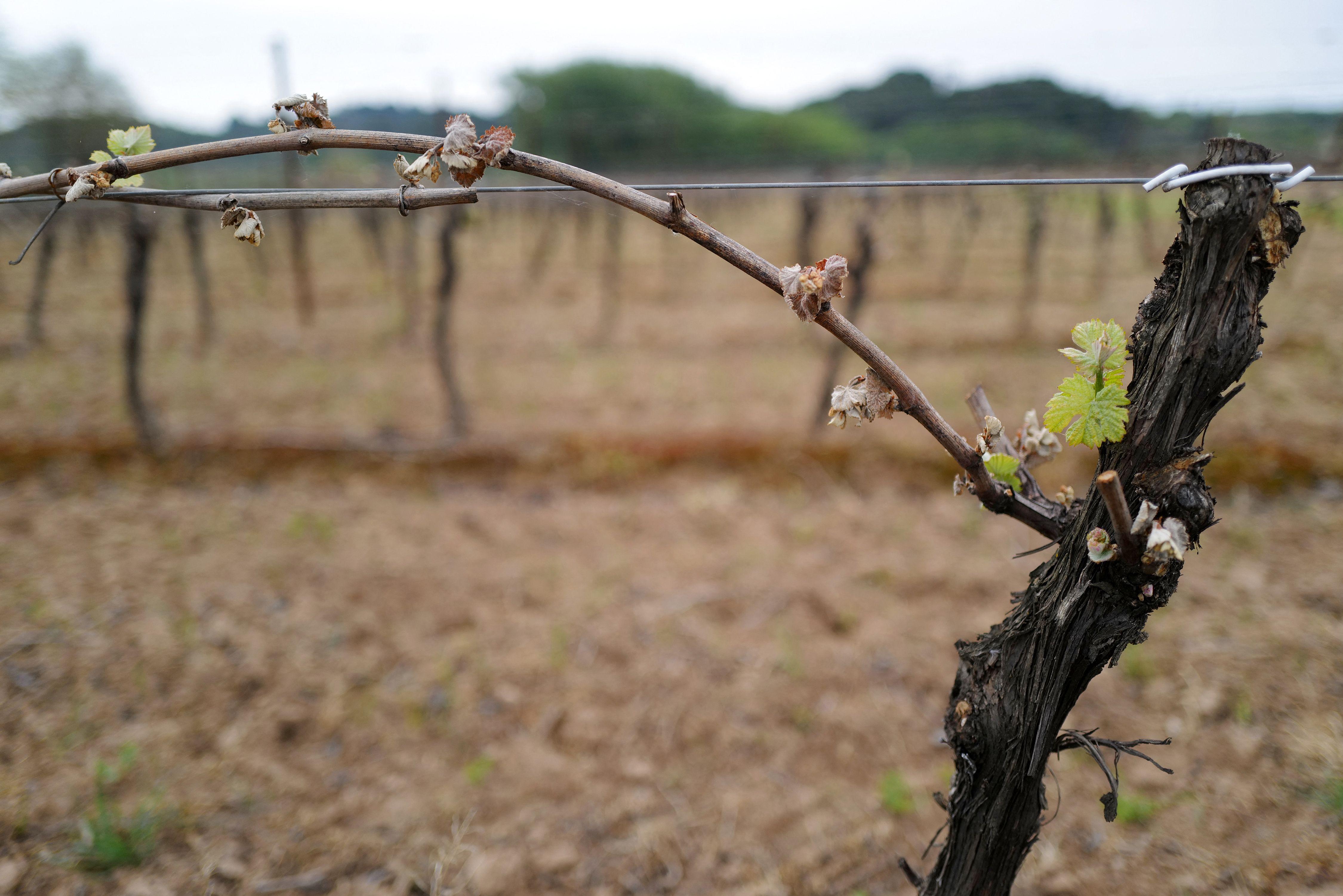 Des bourgeons et des feuilles de vigne endommagés par le gel dans un vignoble de Montagnac dans...