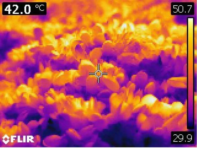 Une image thermique de moules récemment tuées dans le parc Lighthouse à West Vancouver, en Colombie-Britannique,...