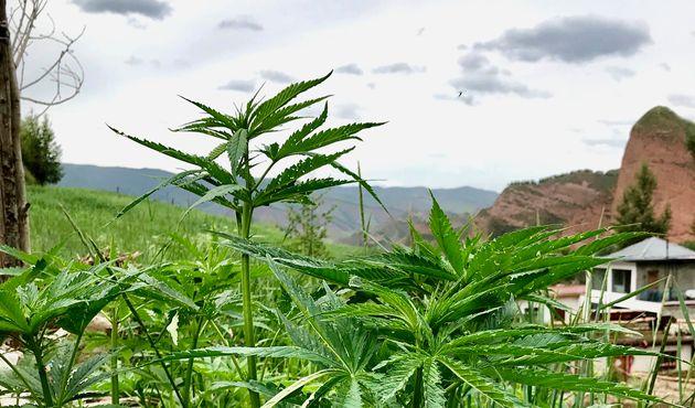 Races locales de cannabis dans la province du Qinghai, en Chine