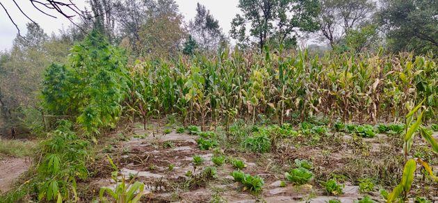 Des variétés locales de cannabis dans un champ de maïs dans le nord-est de la